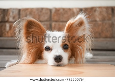 Great Papillon Canine Adorable Dog - stock-photo-cute-dog-look-away-continental-toy-spaniel-papillon-dog-pure-breed-also-known-as-a-butterfly-792200764  2018_797891  .jpg