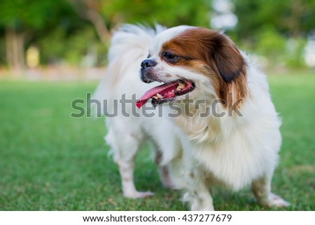Cute dog,mongrel between Shih-Tzu with Chihuahua