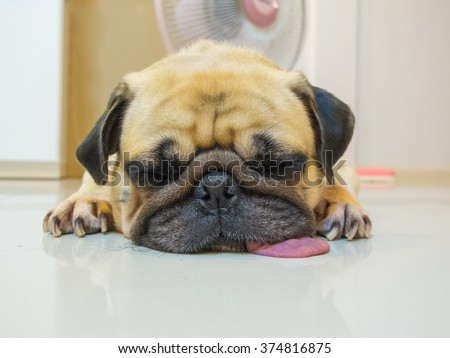 Cute dog puppy Pug sleep rest by chin and tongue lay on Floor. Lazy pug dog. Conceptual of funny pug dog. - stock photo