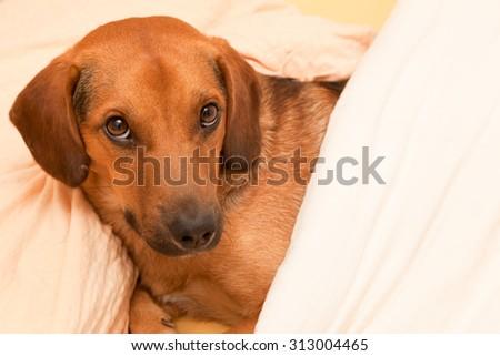 Cute dog ready for sleep - enhanced colors - stock photo
