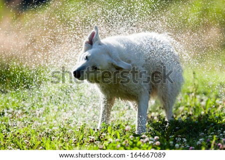 Cute dog shaking itself dry on a green lawn in a spray of water droplets as it dries its coat after swimming or being bathed - stock photo