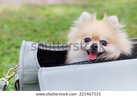 Cute dog sitting in woman bag - stock photo