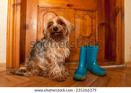 Cute dog sitting near wooden door and waiting to go outdoor when rain - stock photo