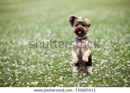 Cute dog sitting up in a field - stock photo
