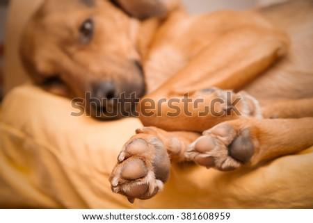 Cute dog sleeping - shallow DOF, enhanced colors - stock photo
