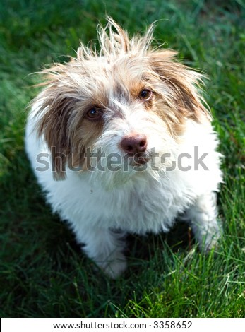 Cute dog that was adopted from pound - funny hair (fur).