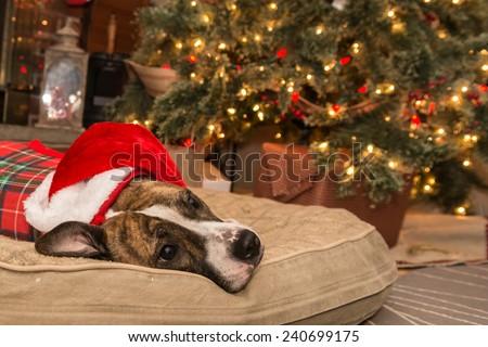 Cute Dog Waiting for Santa - stock photo