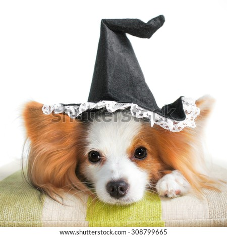 Cute dog wearing a Halloween witch hat, Selective Focus, Isolated on White, Halloween Concept, Continental Toy Spaniel Papillon. - stock photo