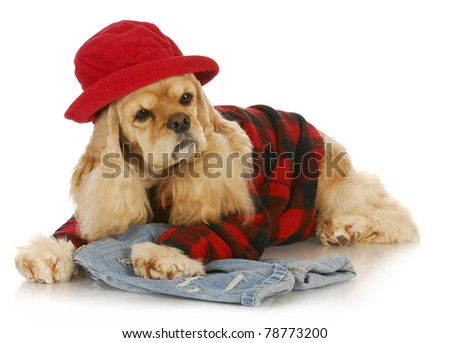 cute dog wearing red hat and plaid shirt - american cocker spaniel - stock photo