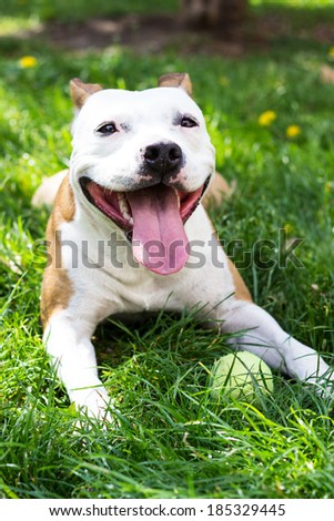 Cute dog with a tennis ball  - stock photo
