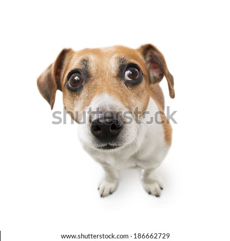 Cute dog with big nose looking to the side with suspicion excitement. White background. Studio shot - stock photo