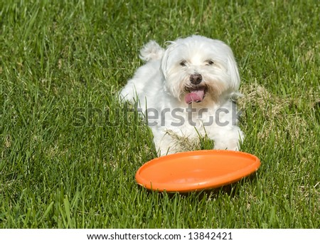 Cute dog with frisbee - stock photo