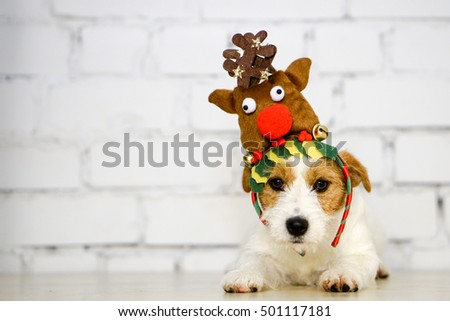 Cute dog with reindeer antlers. Christ mass dog at white