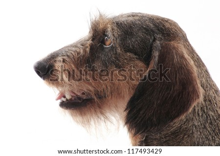 Cute dog with white background. Photos made in studio. Wire-haired Dachshund. - stock photo