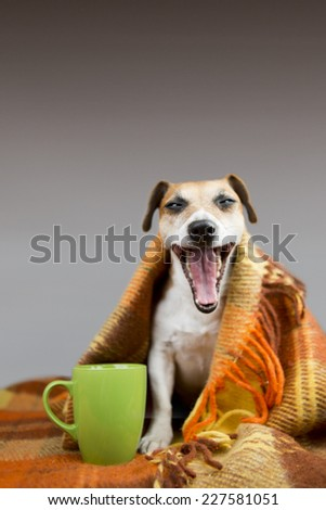 Cute dog yawns open mouth sitting next to a cup. Wrapped in a bright warm blanket. Free space for text on top - stock photo