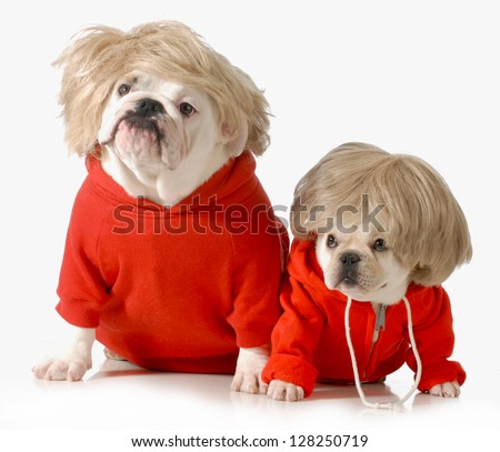 cute dogs wearing exercise clothing isolated on white background - english and french bulldogs - stock photo
