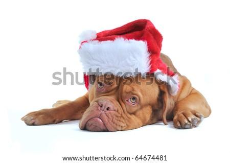 Cute Dogue De Bordeaux Puppy Dressed as Santa - stock photo