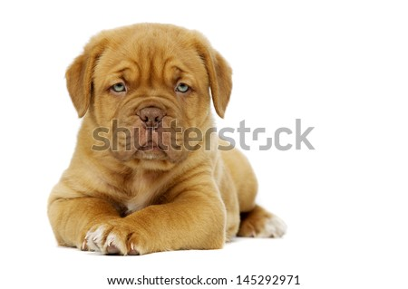 Cute dogue de boudeux puppy laid alone isolated on a white background