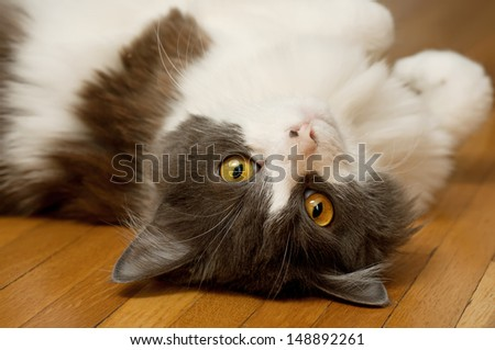 Cute domestic cat with yellow eyes and white gray fur