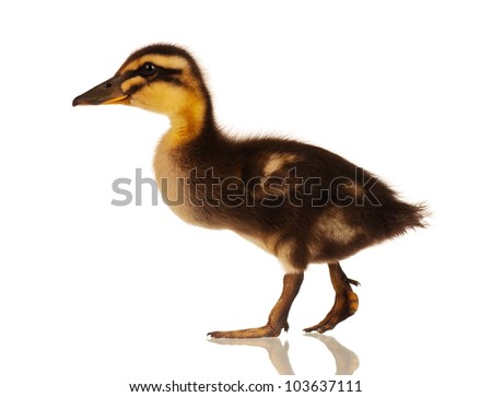 Cute domestic duckling isolated on white background