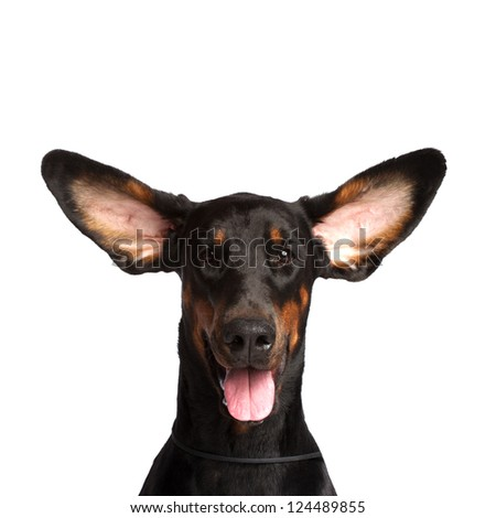 Cute ears of dobermann dog isolated on white - stock photo