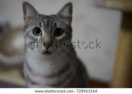 https://thumb7.shutterstock.com/display_pic_with_logo/167494286/728963164/stock-photo-cute-egyptian-mau-728963164.jpg