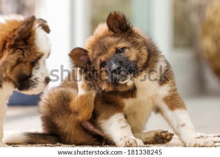 cute Elo puppy scratches himself behind the ear - stock photo