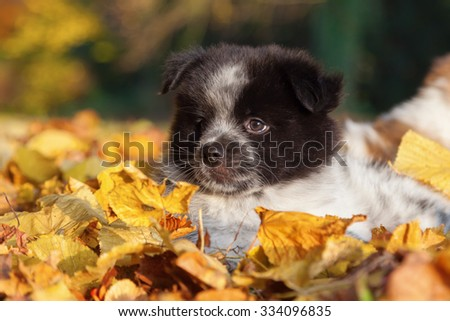 cute Elo puppy sitting amongst colorful autumn leaves