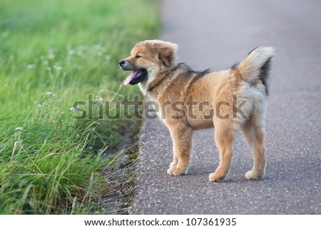 cute Elo puppy standing on a country road