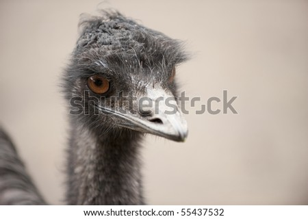 Cute emu flightless bird portrait. - stock photo