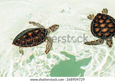Cute endangered baby turtles swimming in crystal clear water - stock photo