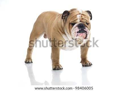 Cute english bulldog portrait isolated on white - stock photo