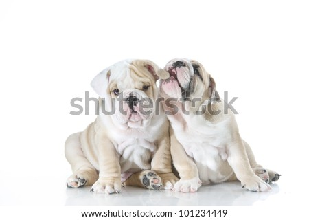 Cute english bulldog puppies playing isolated - stock photo