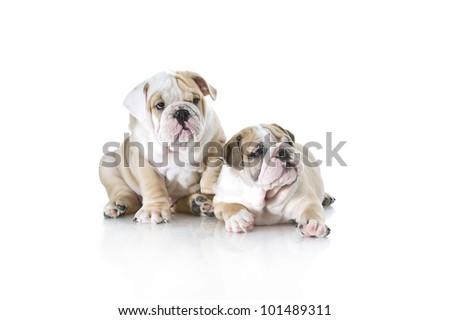 Cute english bulldog puppies playing isolated - stock photo