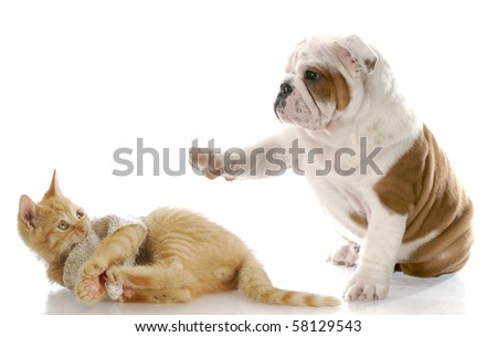 cute english bulldog puppy bullying kitten with scared expression with reflection on white background
