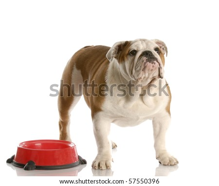 cute English bulldog puppy standing beside food dish looking up waiting to be fed - stock photo