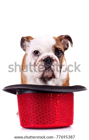 cute english bulldog puppy standing in a show hat over white