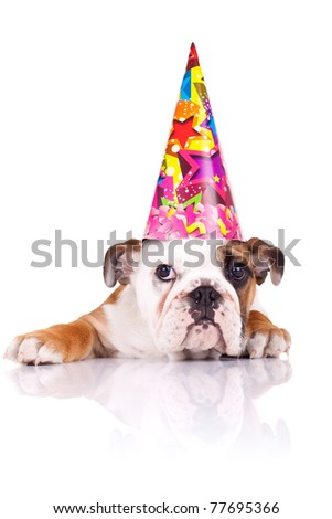 cute english bulldog puppy wearing a birthday hat over white