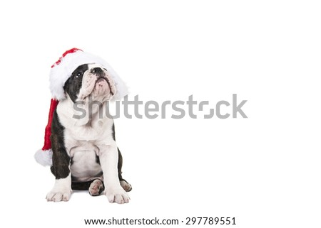 Cute english bulldog puppy wearing Santa's Hat isolated on a white background