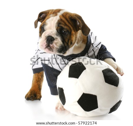 cute english bulldog puppy wearing sports jersey playing with soccer ball with reflection on white background - stock photo