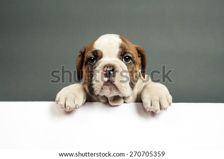 Cute English bulldog puppy  with paws on a message board . - stock photo
