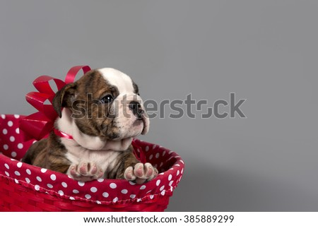 Cute English bulldog puppy with red bow in basket on gray background.