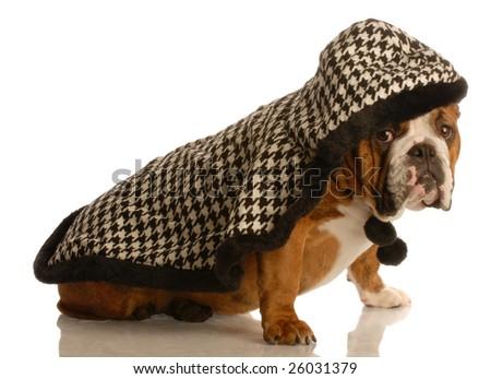 cute english bulldog wearing plaid cap with hood up - stock photo