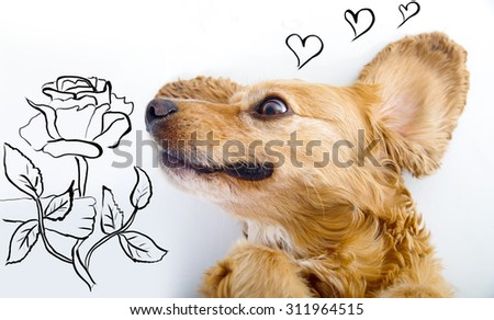 Cute English Cocker Spaniel puppy in front of a white background smelling rose sketch. - stock photo