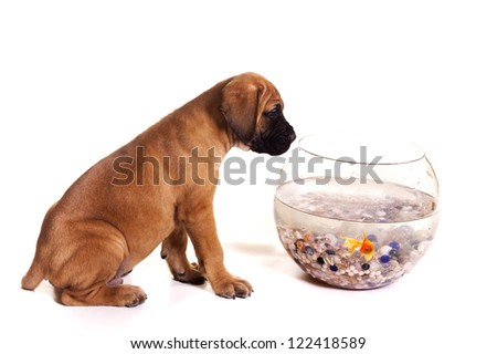 Cute English Mastiff puppy looking into a fishbowl. - stock photo