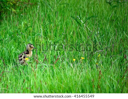cute eurasian curlew bird chicken wanders off in thick tall green summer grass
