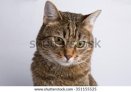 Cute European kitten isolated white background , animal portrait - stock photo