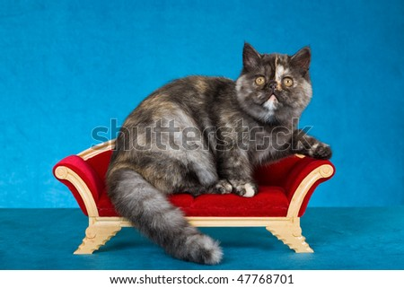 Cute Exotic kitten on miniature Victorian sofa chaise, on blue background - stock photo
