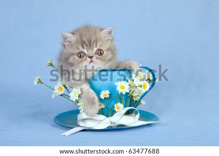 Cute Exotic Persian kitten sitting inside large blue cup with flowers - stock photo