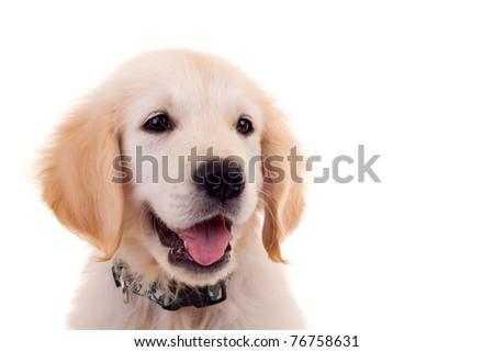cute face of a little golden labrador retriever over white - stock photo